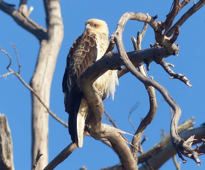 Whistling kite owning the place
