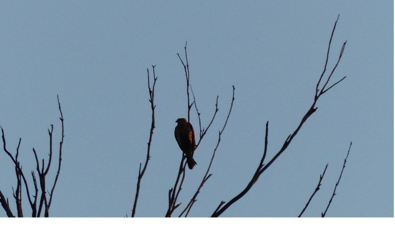 First whistling kite of the day, defrosting in the first rays of sunlight