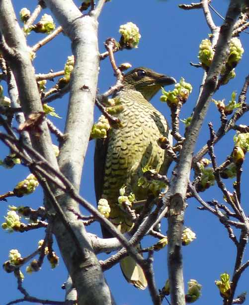 Female (or juvenile) bowerbird and buds