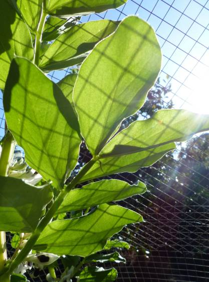 Broad beans behind bars