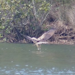 Whistling kite hunting in Patonga Creek