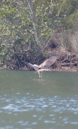 Whistling kite hunting in Patonga Creek