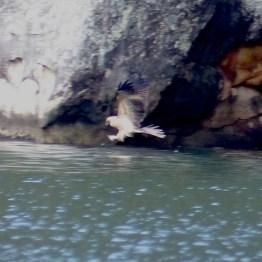 Whistling kite aka archaeopteryx