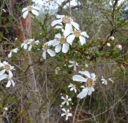Some sort of leptospermum