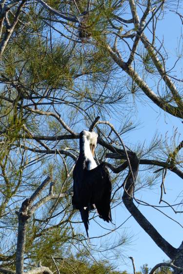 Pied cormorant strangled by a fishing line