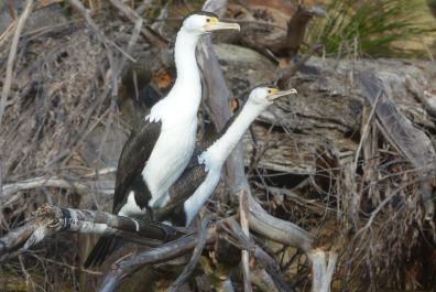 Peeved pied cormorants