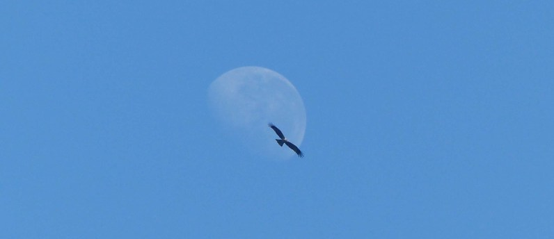Whistling kite and moon