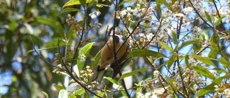 Eastern spinebill in a mature blueberry ash at Terry's Creek