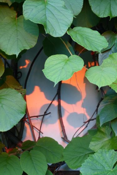 Kiwi leaves at sunset