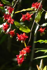 "Ochna or ""mickey mouse plant"""