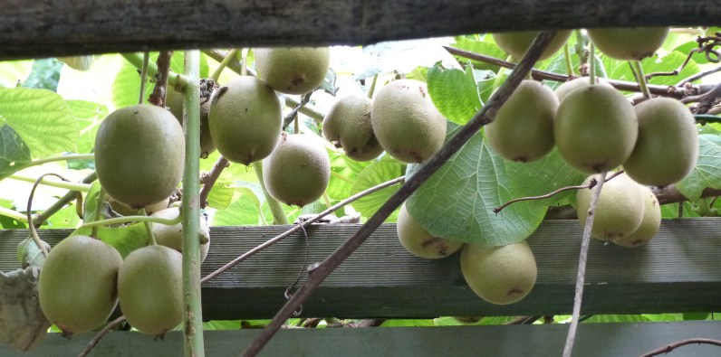The kiwifruit harvest
