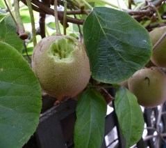 Who's been eating my kiwifruit?