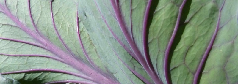 Purple cabbage leaves wide crop