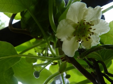 Kiwifruit buds and flowers
