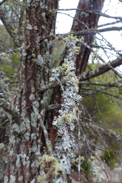 Lichen on native cyprus