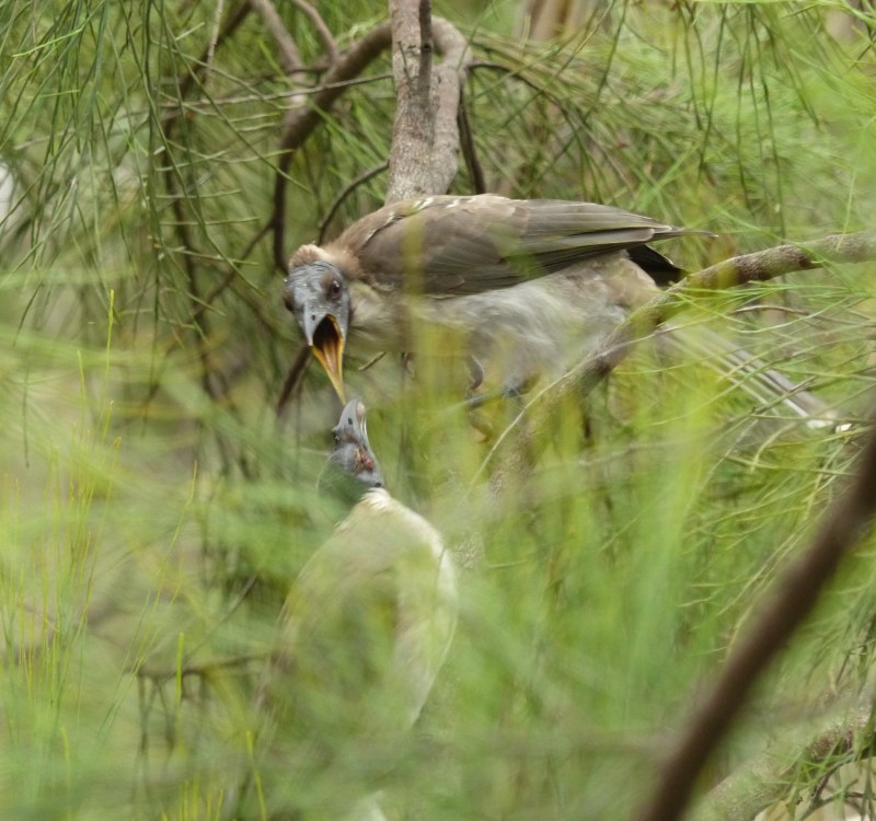 Noisy friarbird getting food crop