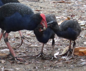 Adult swamp hen feeding the hungry bairns