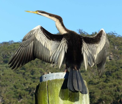 Male Australasian darter at Apple Tree Bay