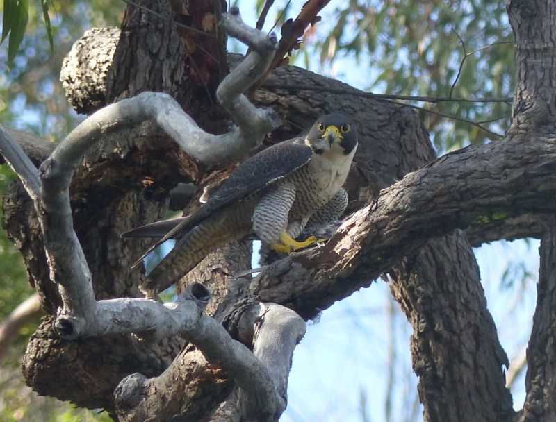 Peregrine in front of branch staring at me crop