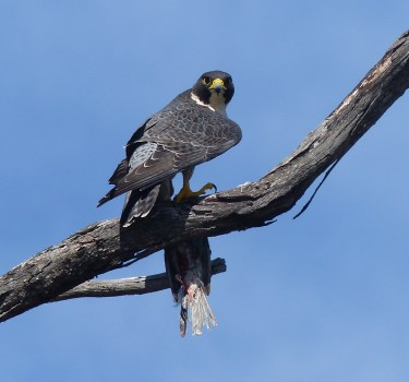 Peregrine staring straight at the camera