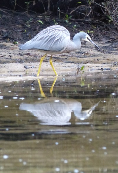 White faced heron hunting in Calabash Creek