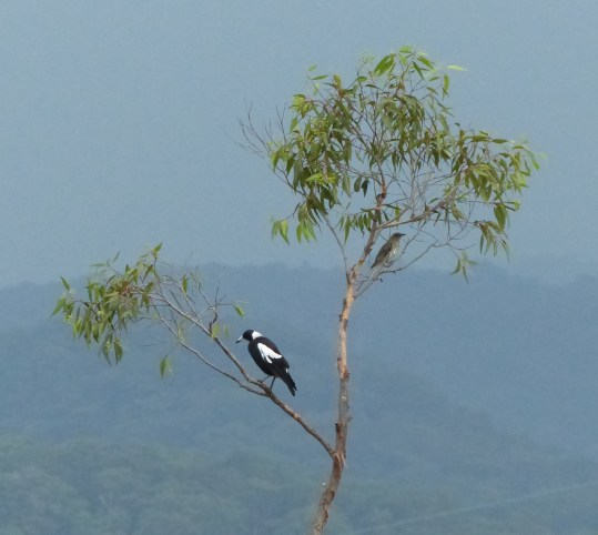 Oriole and magpie sheltering from the rain