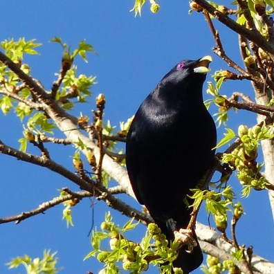 Male satin bowerbird chowing down on a liquidambar