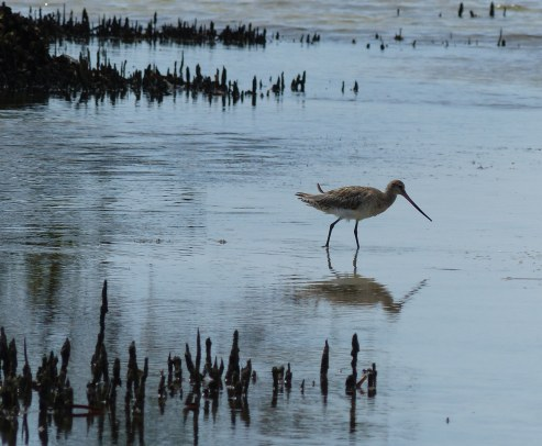 Bar tailled godwit in the mangroves by our holiday place