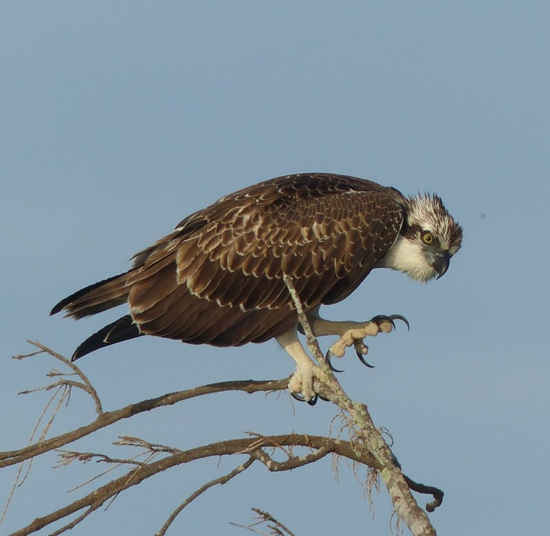 osprey-3-d-claws-crop