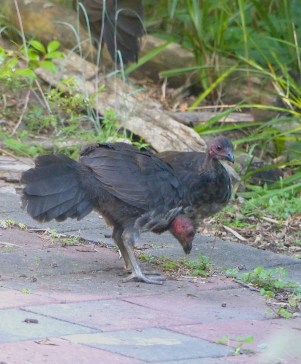 A small clique of the 10 or so brush turkeys that frequent our yard