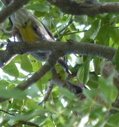 wattlebird-and-begging-mouth-cropped-square-tighter
