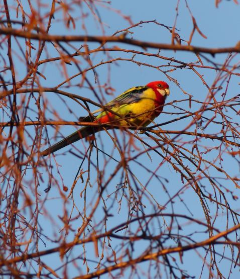 Eastern Rosella spotted on the way to the train station in Berowra