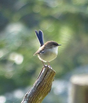 Superb blue wren down by Terry's Creek