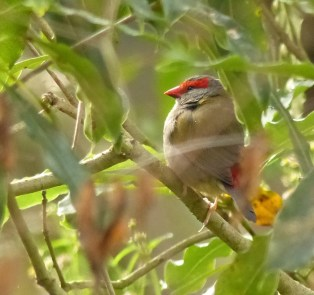 Contemplative red-browed finch