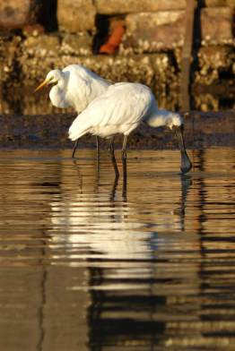 Spoonbill with friendly egret
