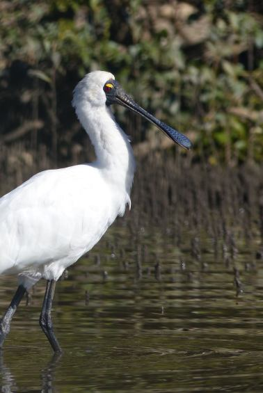 Spoonbill in July with no visible crest