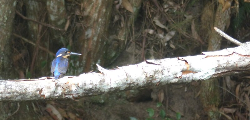 Azure kingfisher profile crop