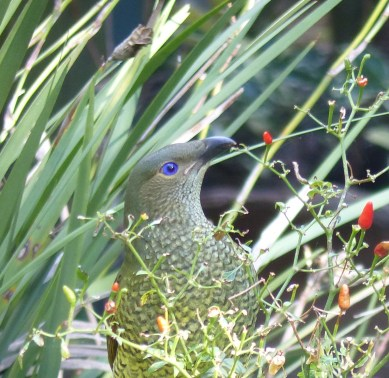 Juvenile or female bowerbirds with virtually no tastebuds