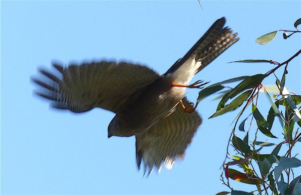 My bird in flight.