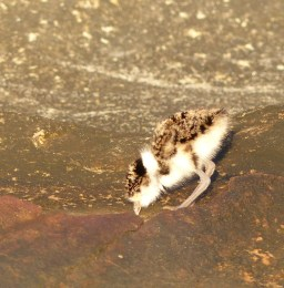 Plover chick feeding very sharp 2 crop