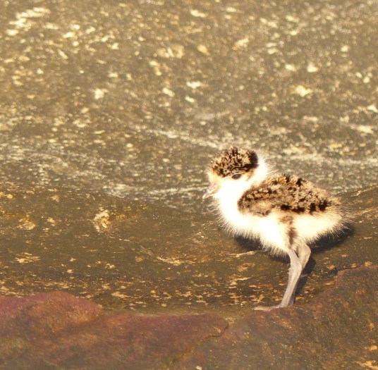 Plover chick very sharp square