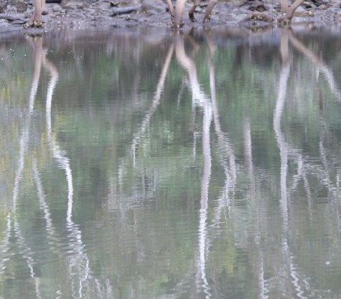Saplings and reflection cropped