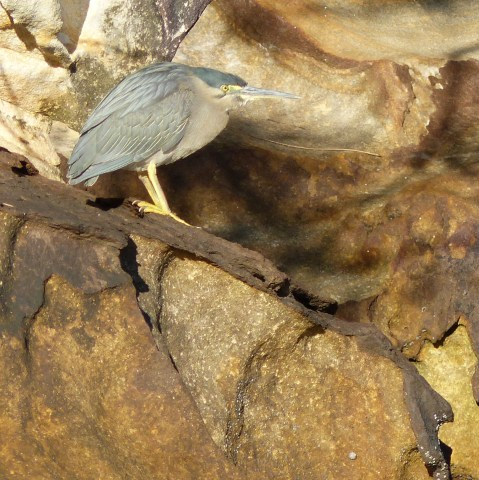 Striated heron and sandstone square