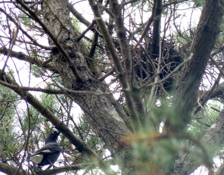 Currawong after the sparrowhawk nest