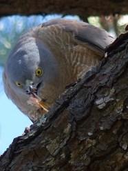 Female sparrowhawk getting stuck in