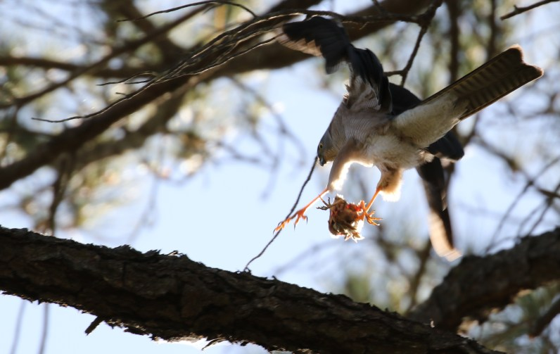 Male sparrowhawk taking off with prey. Photo by Josh Matthews.