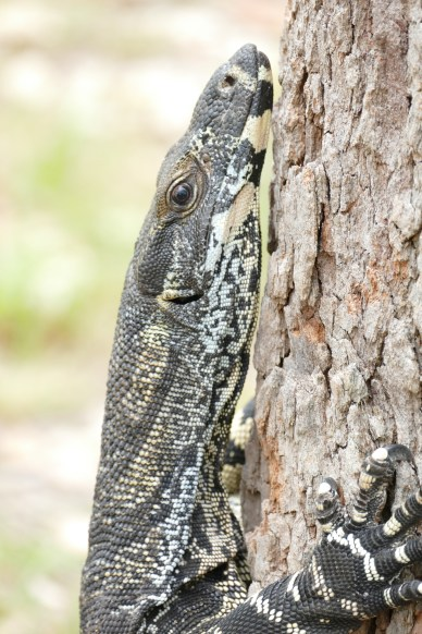 Monitor lizard face closeup