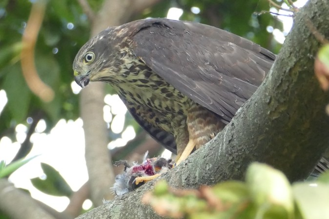 Juvenile plucking the prey