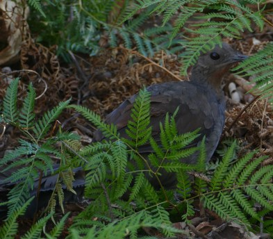 Lyrebird peeping