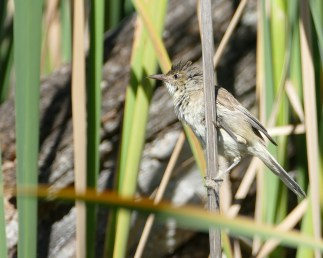 Clamorous reed warbler with nesting material